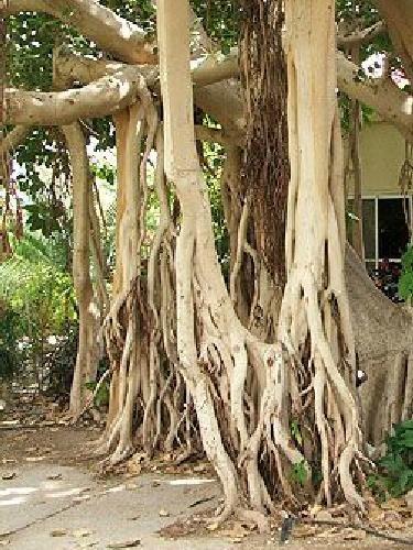 TROPICA - Baniano (Ficus benghalenesis) - 25 semillas- Magia tropical