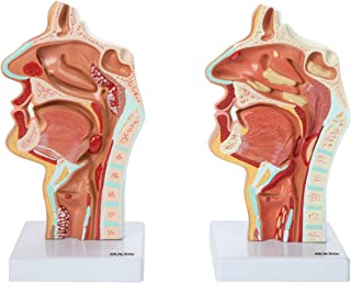 Axis Scientific Human Larynx and Pharynx Disorders Model   Shows Normal Larynx and Pharynx Anatomy and Details Common Abnormalities   Comes on White Base   3-Year Product Warranty