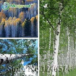 DIY Plant 30 Seeds Weeping White Birch Silver Birch Betula pendula alba Tree Seeds #32356942574ST