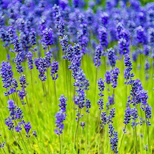 Outsidepride Lavender Munstead Plant Seed - 2000 Seeds