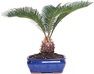 Best mini palm trees for sale Reviews
