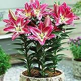 1x Bulbo lirio Plantas naturales exterior Bulbos de Lilium Flores para plantar Bulbo Lilium Bulbos de primavera Lirio enano oriental Entertainer