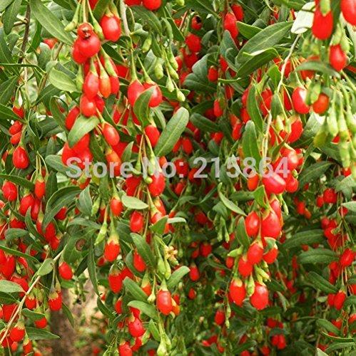 3 paquets de Barbarie Wolfberry Fruit Graine / Pack 1 50 Graines Lycium néflier Fructus Lycll Herbal Hot E006