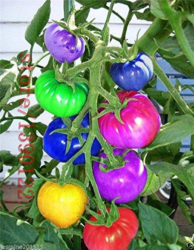 100pcs très rares fruits de bonsaïs Graines de tomate arc-en-importés et les graines végétales Les plantes en pot non-OGM pour le jardin de la maison