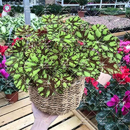 GETSO 100Pcs / Bag Begonia Bonsai Pflanze Indoor Bonsai Blumengarten Begonia Perilla Pflanzen für Haus-Garten-Dekoration Topfpflanzung: 2