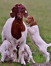 Notebook: Goat kids goats fun spring play sheep milk cattle wild goat mutton pig udder lamb cow