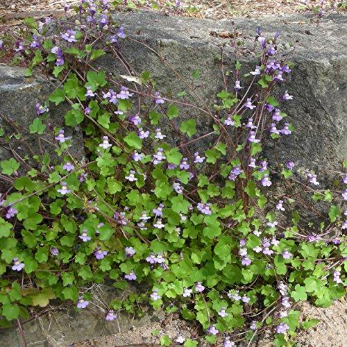 Blumixx Stauden Cymbalaria muralis - Mauer-Zimbelkraut, im 0,5 Liter Topf, hell-violett blühend