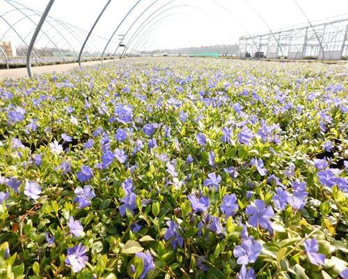 Vinca minor 25 Marie blau Immergrün Triebe 5/7 Topfgewachsen T9x9 Bodendecker winterharte Staude