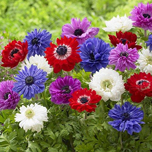 Van Zyverden Wind Flowers Anemones St. Brigid Mixed Set of 25 Bulbs