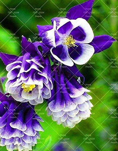 100PCS Double Aquilegia (Columbine) Graines rares Bonsai Graines de fleurs à long Bloom saison plantes vivaces pour jardin 14