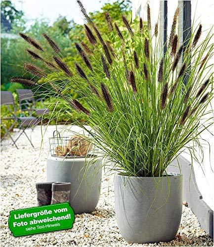 BALDUR-Garten Schwarzes Lampenputzergras,1 Pflanze Pennisetum, Ziergras