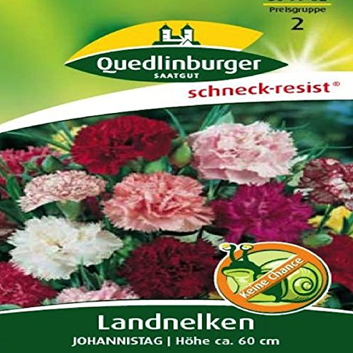 Landnelken Johannistag | Höhe ca. 60 cm (Dianthus caryophyllus) Juni – August im 2. Jahr-