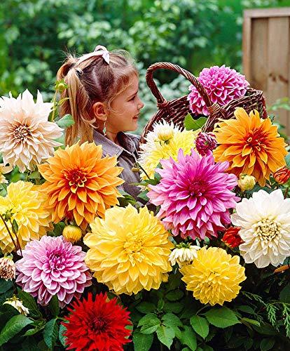 Keland Garten - 50pcs Selten Dahlien Top-Mischung 'Mammoth' Blumensamen Mischung wintergart mehrjährig, geeignet für Schalen, Kübel und Töpfe