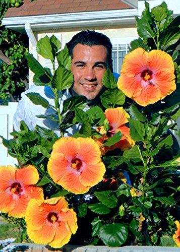 100 graines géant Hibiscus exotiques Graines Fleurs Corail jardin Bonsai rose et blanc Rare vivace Fleur Plante en pot pour le plaisir multicolor