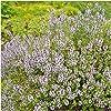 Seed Needs, Wild Creeping Thyme (Thymus serpyllum) Twin Pack of 20,000 Seeds Each #4