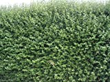 10Green Privet Hedging Ligustrum piante siepe 40–60cm, rapida crescita Evergreen, radice nuda