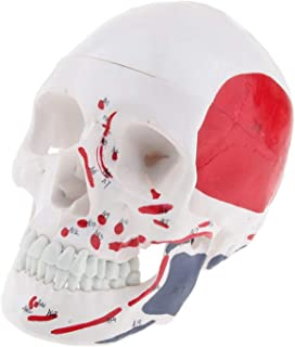 Human Skull Model Head Sketching Drawing Decor Manikins Medical Realistic Human Anatomical Model