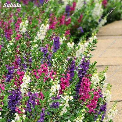 Happy Farm gypsophile Etoiles Sky Seed Hybrids Flower Seed jardin décoratif Aménagement paysager, Plante vivace Fleur 150 Pcs 3