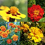 NatureZ Edge Marigold Seeds Mix, Over 5600 Seeds, Marigold Seeds for Planting Outdoors, Dainty Marietta, Petite French, Sparky French, and More