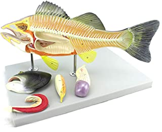 YXZQ Anatomical Model of Fish Animal Models 4D Vision Aquaculture Skeleton Model Scientific for Science Teaching Experiment