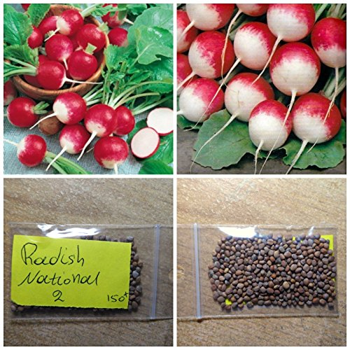 Au début Radis '' 2 '' National ~ 150 ++ Top Seeds Qualité - Extra Variété précoce