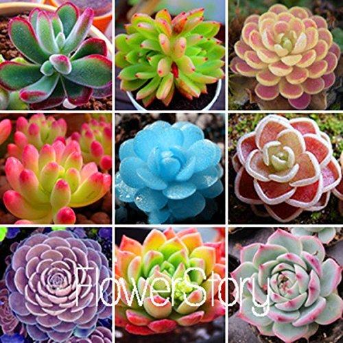 Live Succulent Lithops Cactus Plant Peperomia claveolens
