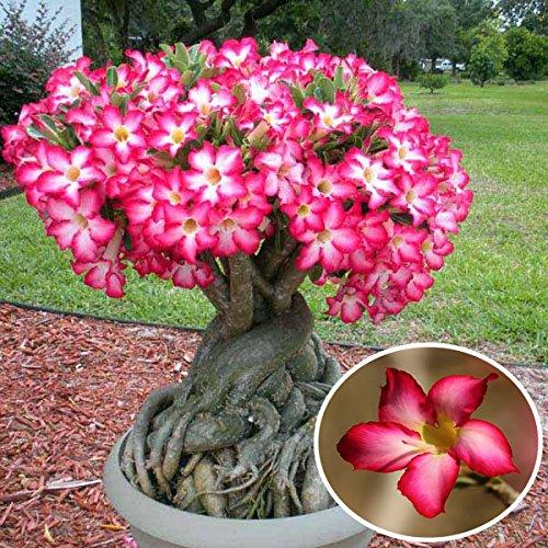 1pcs Red Desert Rose Flower Garden Seeds Adenium obesum Succulent Plant par Jericho Potted Air