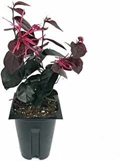 loropetalum jazz hands bold