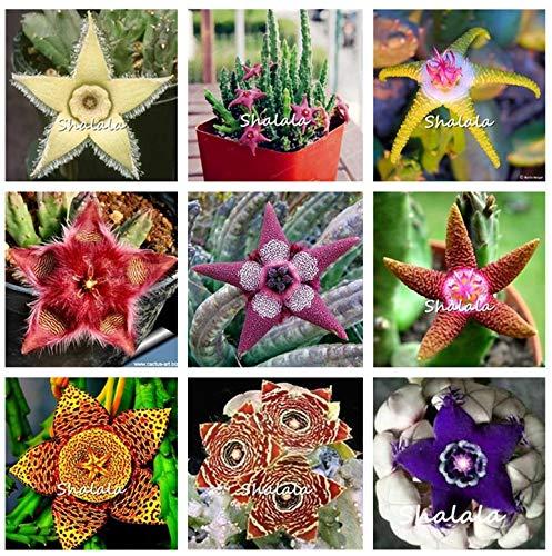 500pcs Mix Fur Stapelia Pulchella Sukkulenten Bonsai Pflanzen Fünf-Stern-Blume für Heim & Garten Töpfe Pflanz: Grün