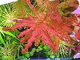 Ludwigia inclinata Red / Ludwigia Inclinata sp Crystal - Very Rare Plant- Plantas para acuarios