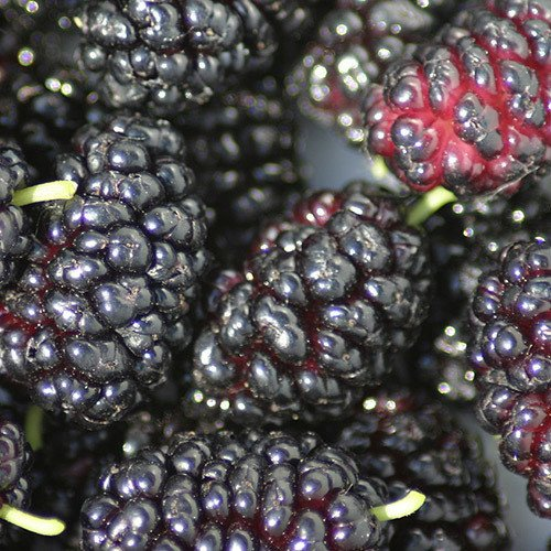 Plant World Seeds - Mulberry Seeds