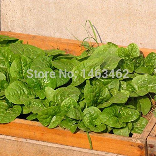 SVI 30 pcs/sac Malabar d'épinards Graines, tonnelle pour jardin Graines de légumes