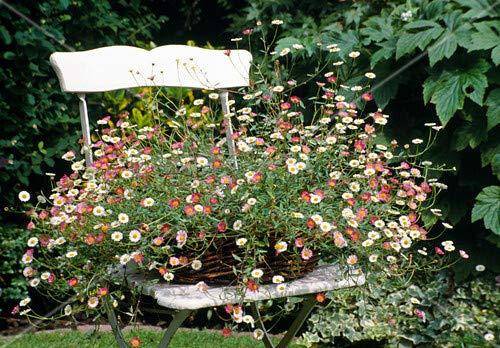 Qulista Samenhaus - Spanisches Gänseblümchen mit hinreißenden zweifarbigen Blüten, pflegeleicht Bodendecker Blumensamen winterhart mehrjährig, geeignet für Steingarten