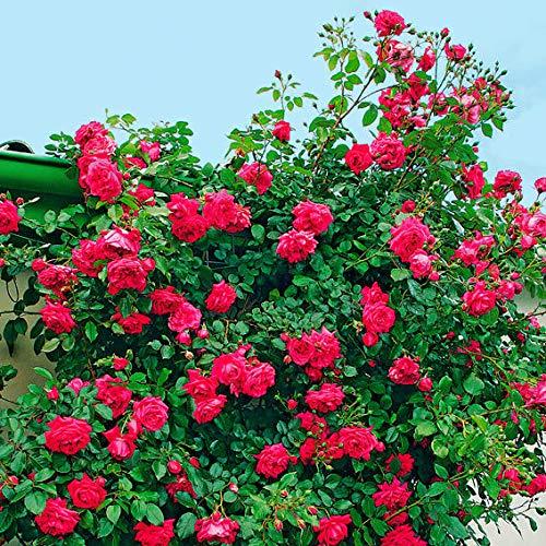 Keland Garten - Duftend 100pcs Raritäten Kletterrose Strauchrose Reich- und öfterblühend, Himbeer-Duft, Blumensamen Mischung winterhart mehrjährig für den Garten und Balkon