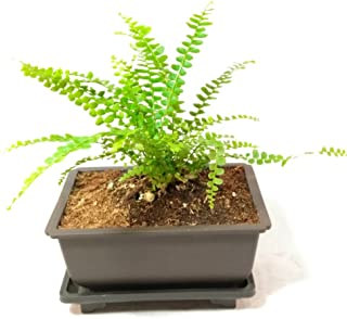 Lemon Button Fern - 5'' L Bonsai Pot - Nephrolepis cordifolia Duffii - Live Plant
