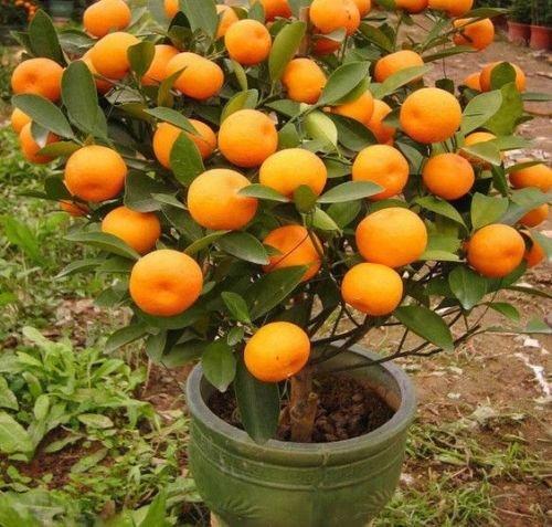 Orange mandarine (Citrus reticulata Blanco) Arbre Graines -BONSAI- 10,20,40,100