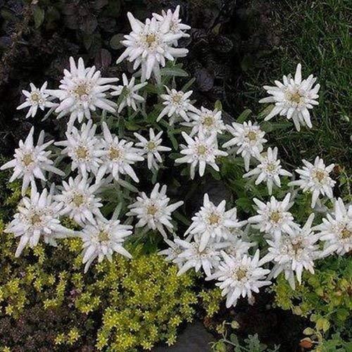 Semillas Edelweiss (Leontopodium Alpinum de flores) 100 + Semillas