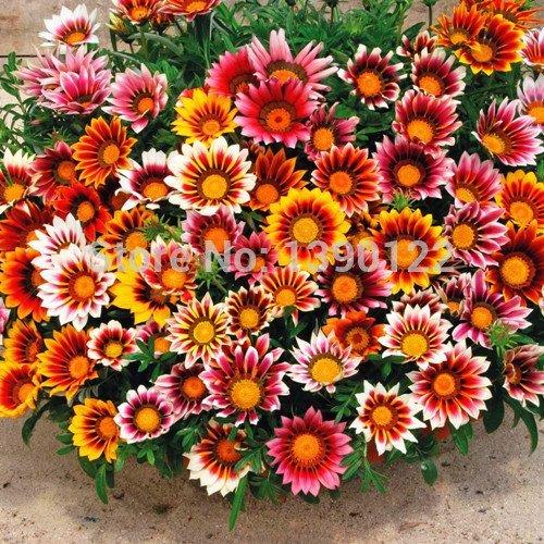 Meilleures ventes !!! Graines de fleurs de Gazania Plantes d'extérieur Très facile Graines de fleurs SEMENTES 100 pcs Gazania Graines