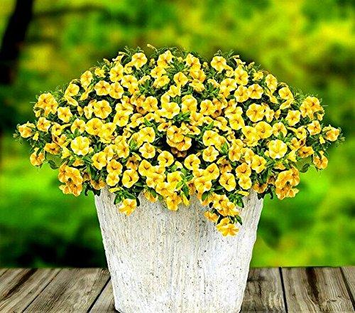 Graines Lemon Slice Superbells Calibrachoa Petunia fleur annuelle, Paquet professionnel, 100 graines / Paquet