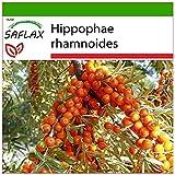 SAFLAX - Olivello spinoso - 40 semi - Con substrato - Hippophae rhamnoides