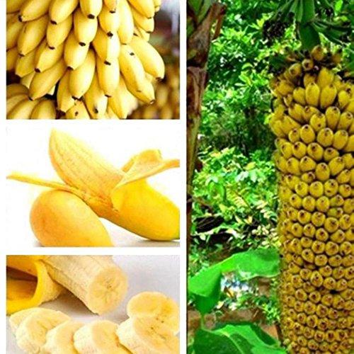 Qulista Samenhaus – Raritäten BIO Banane Bonsai schnellwachsend Obst Saatgut mehrjährig winterhart Exotik für Terrasse und Balkon - 3
