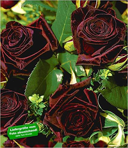 BALDUR Garten Edelrosen 'Black Baccara®', 1 Pflanze Fast Schwarze Rose winterhart