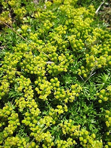 Andenpolster Minor - Azorella trifurcata...