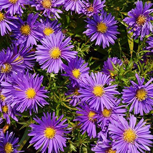 Blumixx Stauden Aster Dumosus-Hybr. 'Blaue Lagune' - Kissenaster im 0,5 Liter Topf violettblau blühend