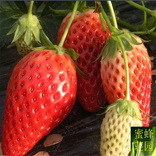 Authentic Strawberry Fruit Graines Four Seasons légumes Graines Balcon famille 100 graines en pot