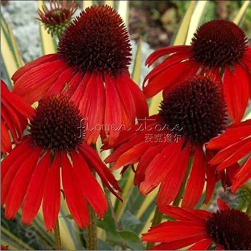 Beau Seeds Gardens 100 Firebird Coneflower Les semis Forte Entouré par la floraison