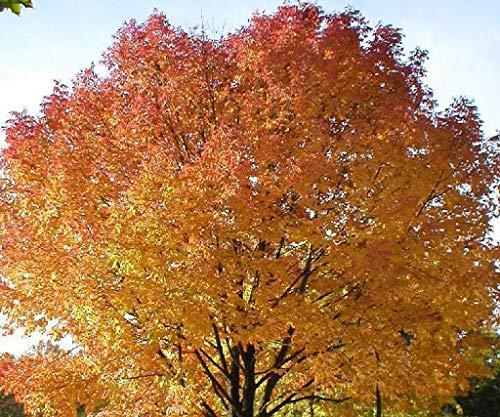zumari 12pcs Sugar Maple Northern Acer Saccharum Tree Seeds
