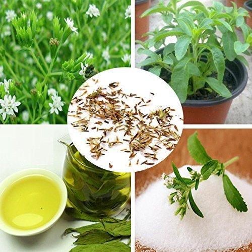 120 Samen Stevia rebaudiana Samen sweetleaf Diabetic natürlicher Zuckerersatz Kräutersamen Bonsai Pflanze Hausgarten