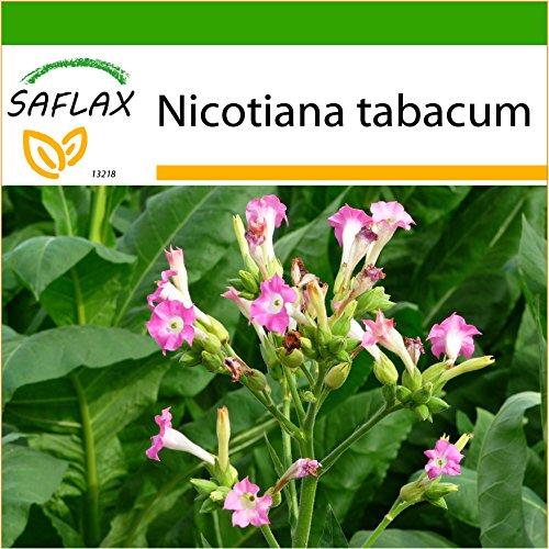 SAFLAX - Echter Virginischer Tabak - 250 Samen - Mit keimfreiem Anzuchtsubstrat - Nicotiana tabacum