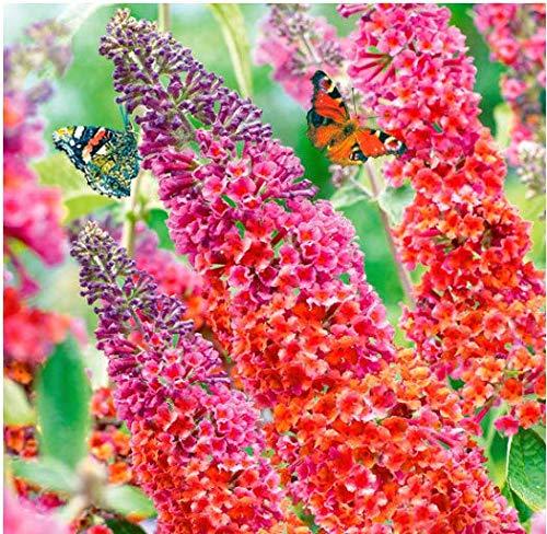 """Tomasa Samenhaus- Buddleia Blumen Samen,Sommerflieder\""""Babiana Mix\"""" Schmetterlingsflieder Zierstrauch exotische Blumen winterhart mehrjährig für Balkon, Garten"""